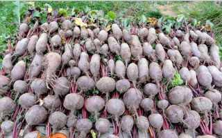 Зберігання коренеплодів. Прибирання і підготовка до зберігання моркви і буряка. Як зберегти коренеплоди в квартирі