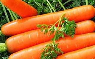 Поради городника: як швидко проростити насіння моркви + відео