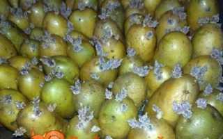 Обробка картоплі перед посадкою від колорадського жука, від дротяників