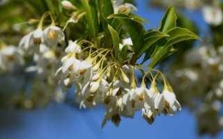 Ландишевим дерево, або Галезіо — витончений раритет. Вирощування, посадка і догляд. фото