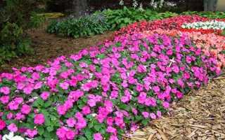 Бальзамін садовий — посадка і догляд, вирощування з насіння, догляд взимку, фото, відео