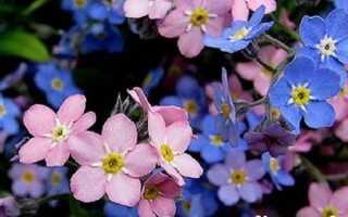Незабудка квітка. Вирощування незабудок. Догляд за незабудками