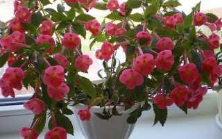 Ахіменеси — правила вирощування та догляду для пишного цвітіння, відео