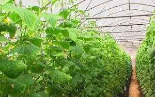 Правила вирощування огірків в теплиці — сорти, відео