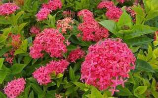 Іксора квітка — посадка і догляд, види, фото, відео