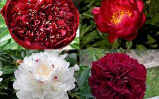 Ранні півонії — підбірка кращих сортів для раннього цвітіння в саду, відео