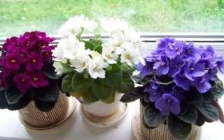 Фіалки — правила догляду для успішної закладки бутонів і пишного цвітіння, відео