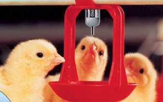 Курчата бройлери — вміст у брудерах, профілактика хвороб, відео