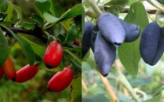 Нові плодові чагарники для саду, види і сорти, відео