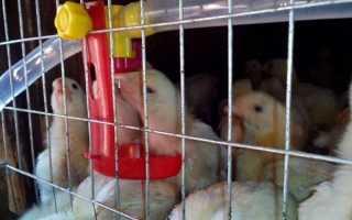 Курчата тритижневі — підбір корму, вміст у брудер, відео