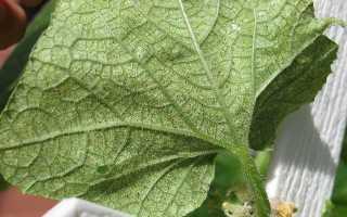 Боротьба з павутинним кліщем на огірках: народні засоби, препарати, профілактика