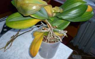 Чому жовтіє листя у фаленопсиса, рішення проблем, відео