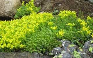Очитки почвопокривні — опис популярних видів, догляд, відео