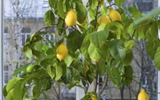 Як виростити лимон вдома, основні правила, відео