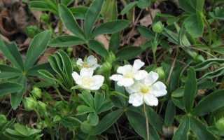 Перстач біла — особливості рослини, посадка і догляд, відео