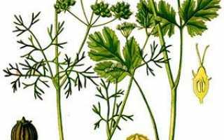 Фото трави кінзи, назва насіння кінзи, технологія вирощування + відео