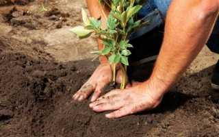 Коли садити півонії, терміни весняної та осінньої посадки, відео