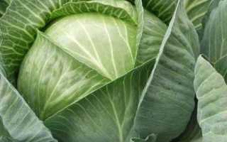 Вирощування розсади капусти в домашніх умовах