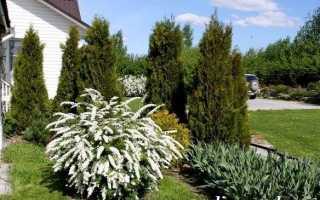 Спірея квітка. Опис, особливості, види і догляд за спиреей