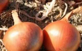 Сорти цибулі ріпчастої для Уралу і інші кращі сорти цибулі