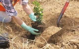 Як садити жасмин навесні: коли, де, в який грунт і яким чином, відео