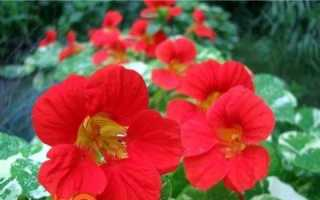 Настурція — вирощування з насіння. Коли садити насінням