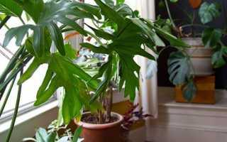 Филодендрон — вирощування вдома, освітлення, вологість повітря і полив, добриво, пересадка і вибір грунту, відео