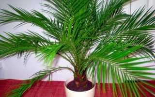 Пальма фінікова — види для вирощування вдома, догляд, відео