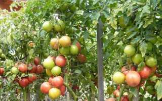 Чому помідори маленькі і вже червоніють в теплиці, відкритому грунті