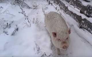 Свинарство — зимове утримання свиней, раціон харчування, відео