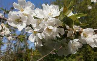 Чому вишня цвіте, а ягід немає, і що з цим робити, відео