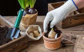 Що робити якщо цибулини і бульби проросли?