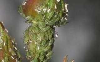 Шкідники троянд — фото, опис і способи лікування