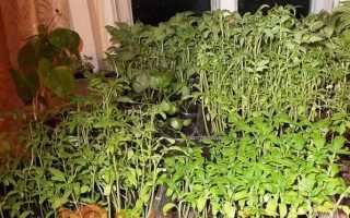 Що робити, якщо витягується розсада помідорів, перців, огірків, квітів?
