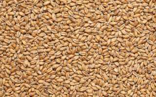 Пшениця — корисні властивості пшеничного молочка, як приготувати напій, відео