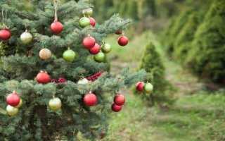 Різдвяне дерево в саду — кращі хвойні породи, види і сорти. фото