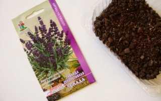Як виростити лаванду з насіння, стратифікація, способи посадки, відео