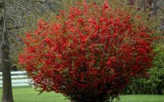Айва японська — опис характеристик декоративну рослину, відео