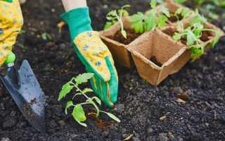 Томат Чорний принц: характеристика і опис сорту, особливості вирощування