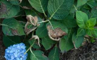 Чому сохнуть листя гортензії і що з цим робити, відео