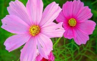 Космея квітка. Опис, особливості, види і догляд за КОСМЕЯ