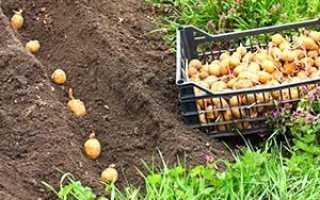 Пізні терміни посадки картоплі на дачній ділянці + відео