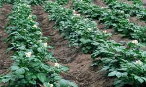 Як вибрати мінеральні добрива для картоплі