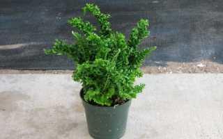 Нефролепіс Еміна: опис рослини і особливості вирощування, відео