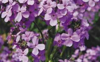 Матіола квітка. Опис, особливості, види і догляд за матіоли