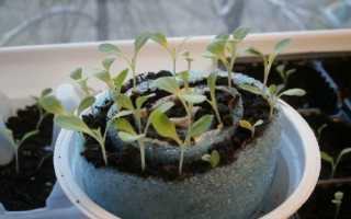 Петунія — метод вирощування без пікіровки, покрокова інструкція, відео
