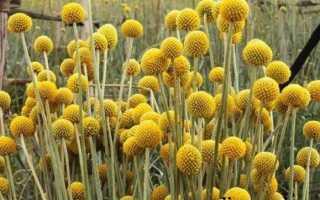 Краспедія квітка. Опис, особливості, види і догляд за Краспедія