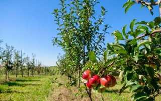 Формує обрізка яблуні — від саджанця до дорослого дерева. схеми