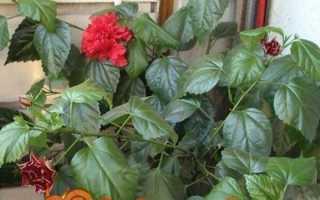 Хвороби і шкідники гібіскуса. проблеми вирощування