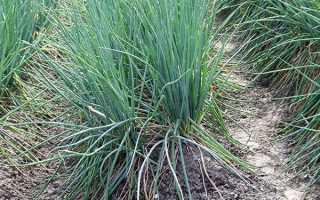 Лук-батун — вирощування і догляд, посадка навесні, до зими, відео